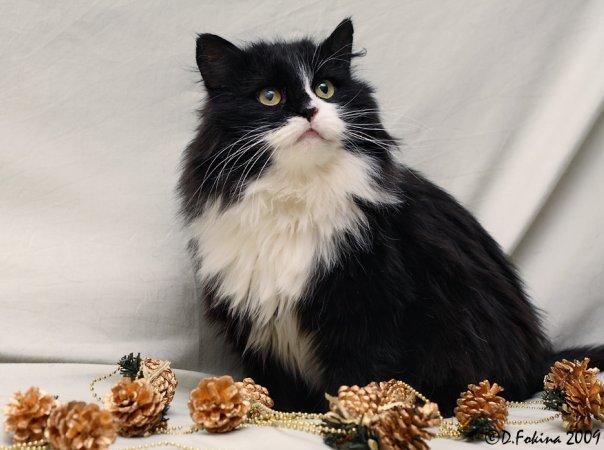 Какой породы черно белый кот