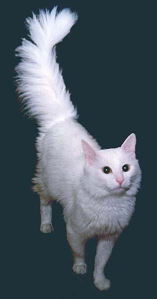 Ангорская кошка фото фотография 4