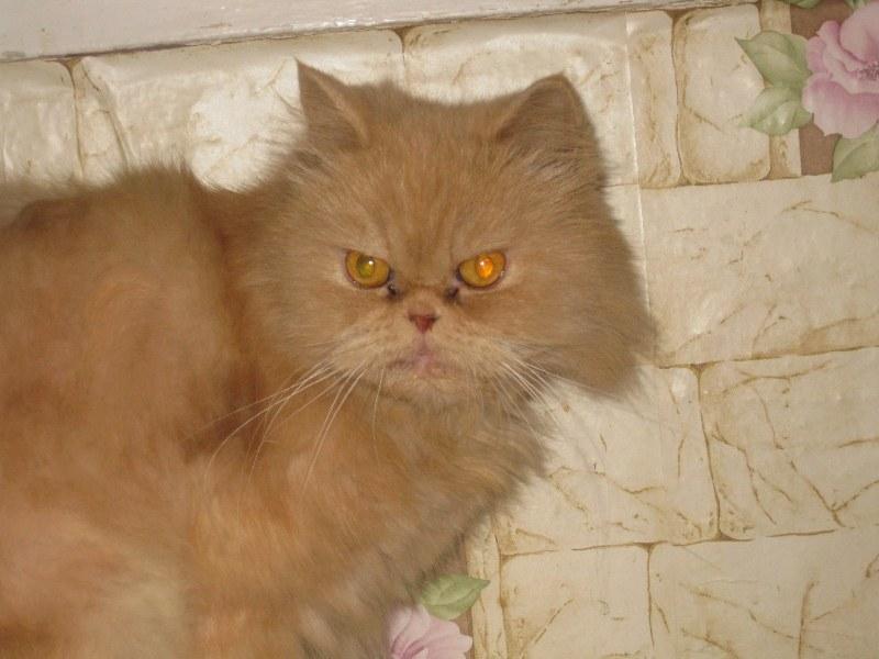 Персидский кот рыжий