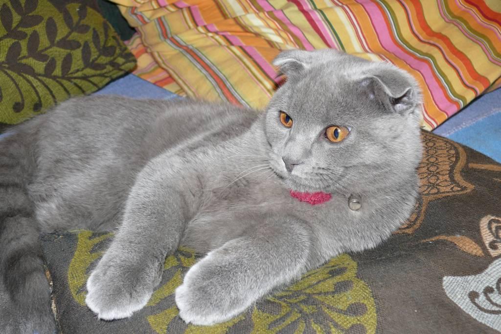 шотландский кот прямоухий ловят мышей