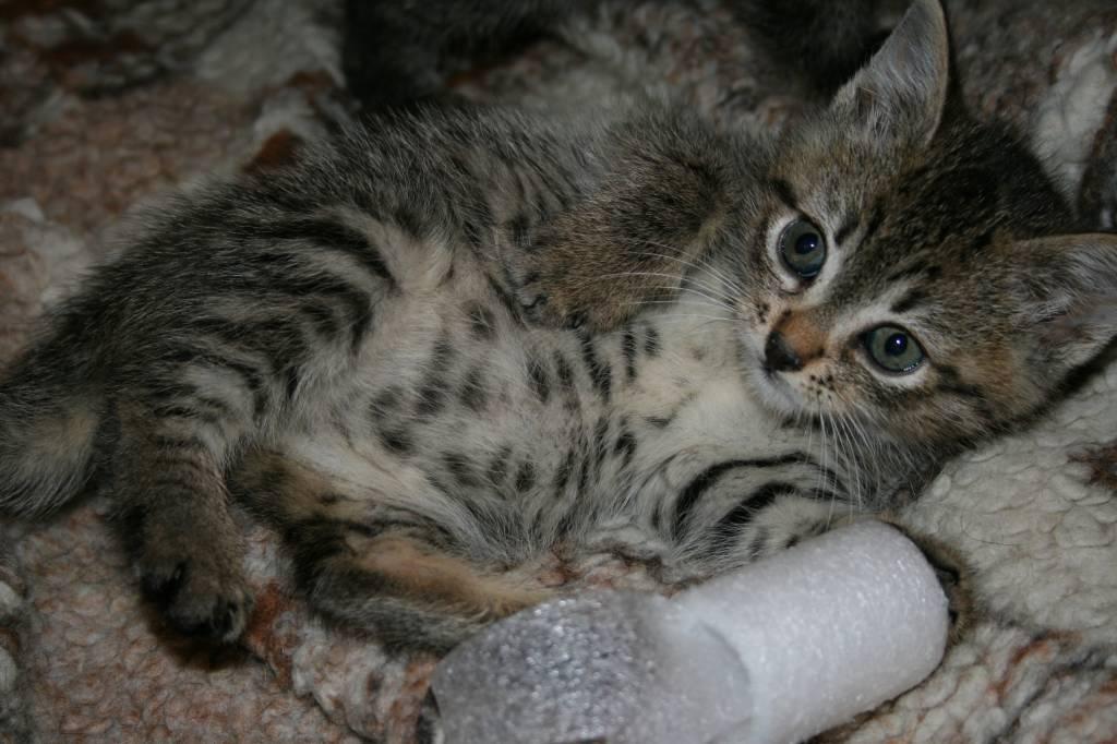 фото котенок полосатый