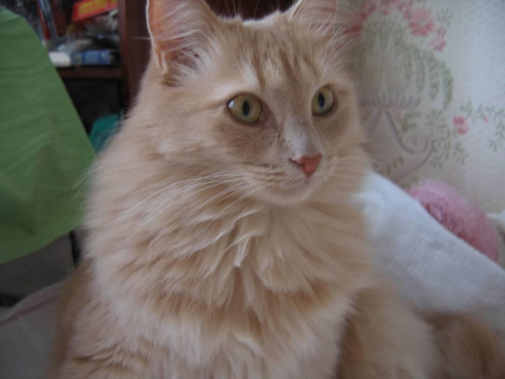 персикового фото окраса котов