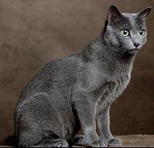 Дымчато серый кот порода