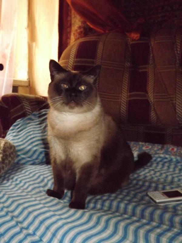 Потерялся тайский кот