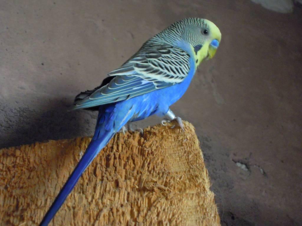 Волнистые попугаи желтого синего