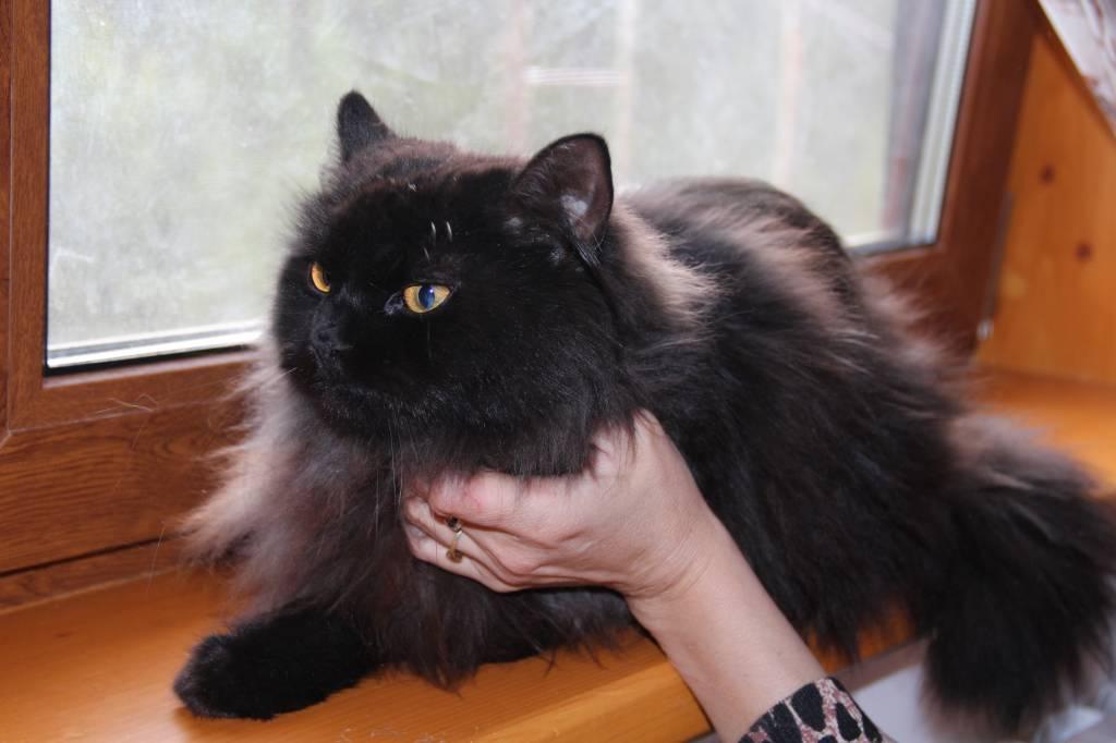 чёрная персидская кошка фото