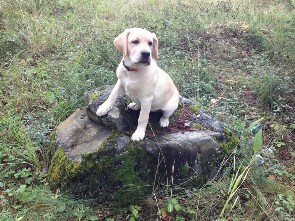 Пропала собака лабрадор ретривер