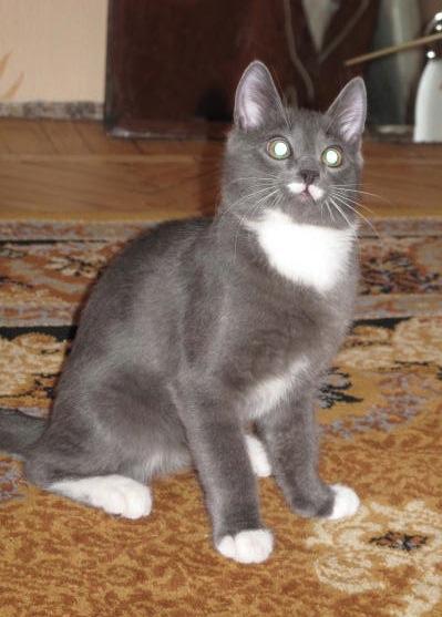 Порода котов с белыми лапками