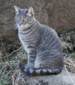 Большой серый кот порода