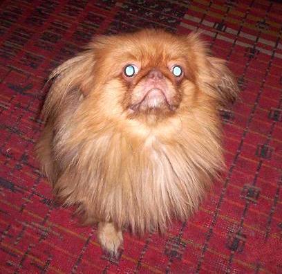 Помогите найти собаку.  Пекинес мальчик, рыжий окрас, глаза светло карие...
