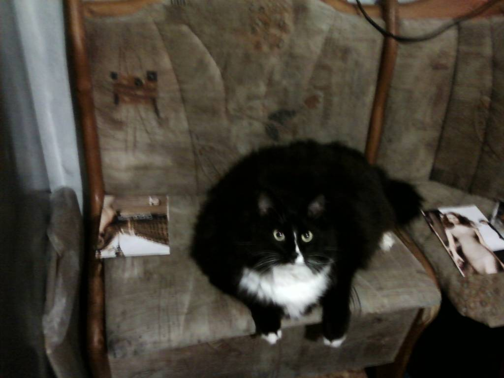 Кот с большой грудью