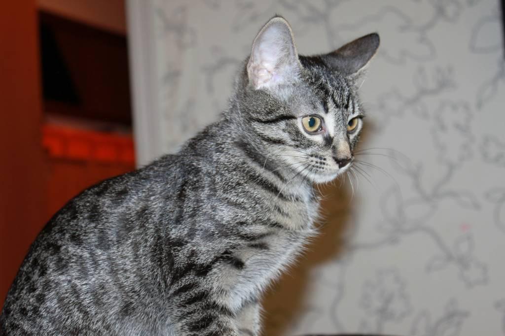 Серые коты в полоску порода
