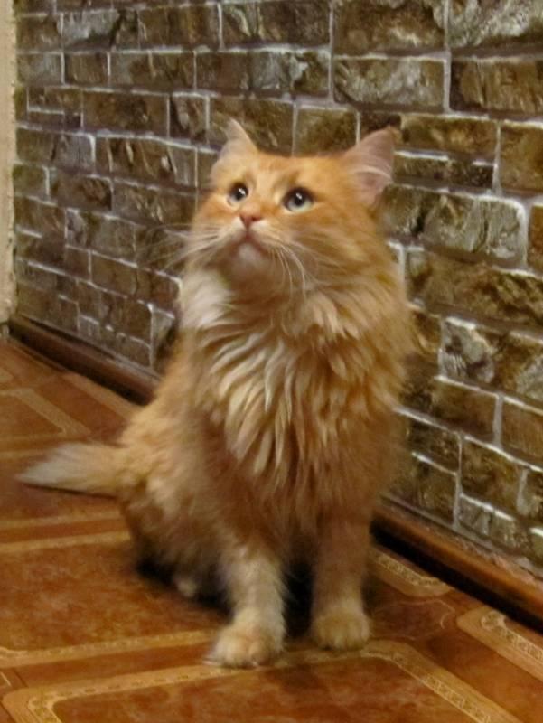 рыжий котенок пушистый фото