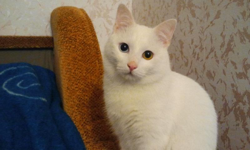 Найден белый большой кот