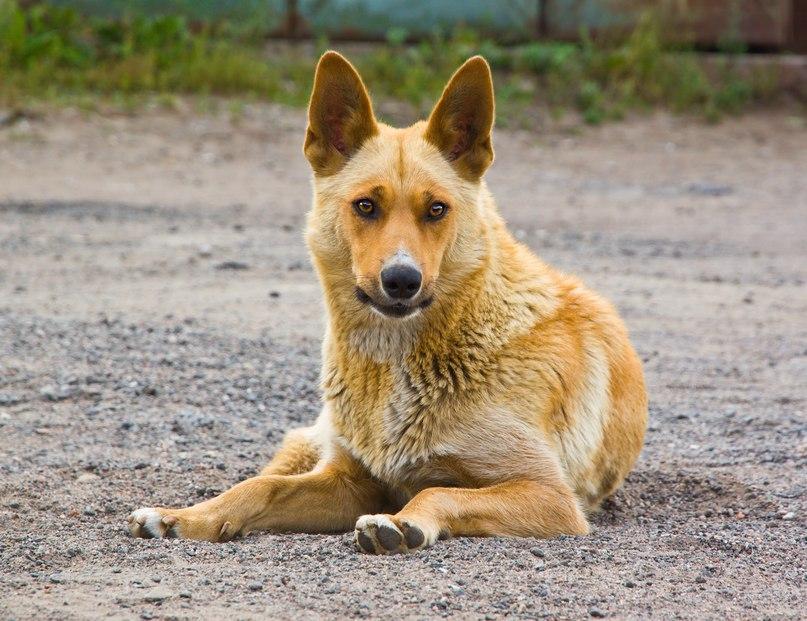 собаки похожей на лисичку