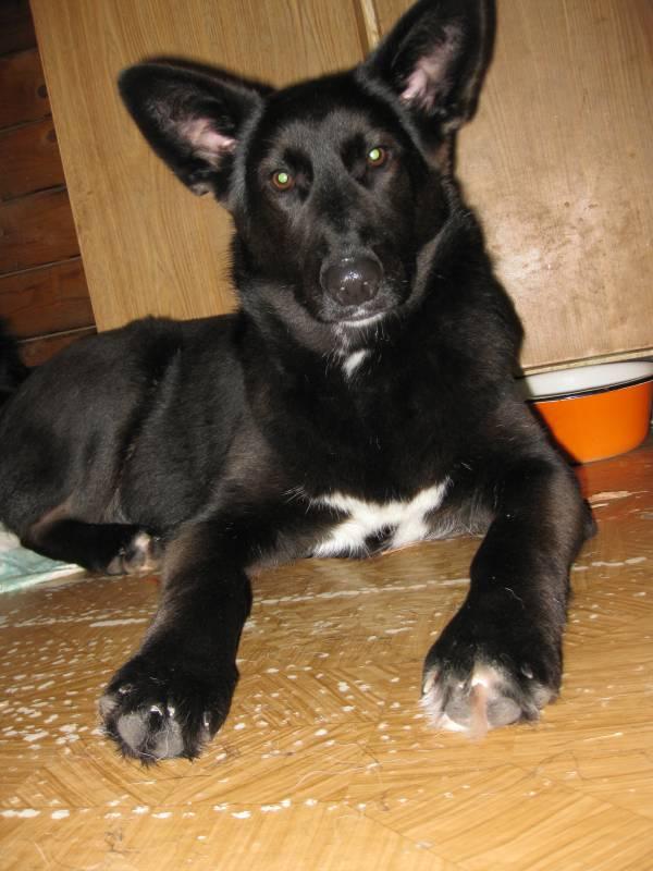 Отдам щенка подростка, похожа на черную овчарку.  Девочка.