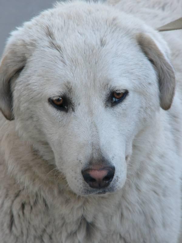 Найдена белая собака у ильинской