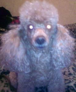 Потерялась собака пудель