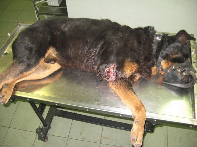 раны на суставах у собак