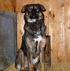 Джекичан из 3-х собак из Ропши