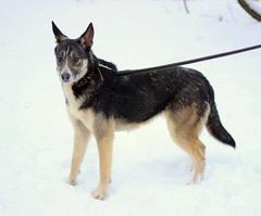 Грэя - 2 собаки из Красного Бора